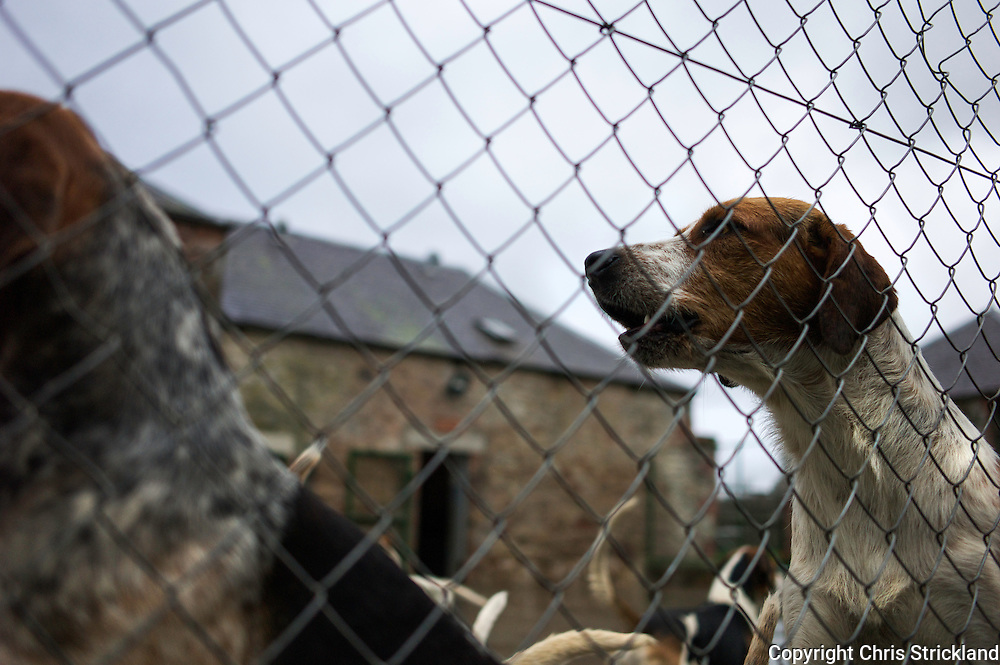 Foxhounds of the Jedforest Hunt relax in their kennels.