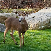 Buck White Tailed Deer