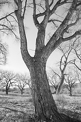 Cottonwood Trees in Santa Fe, New Mexico