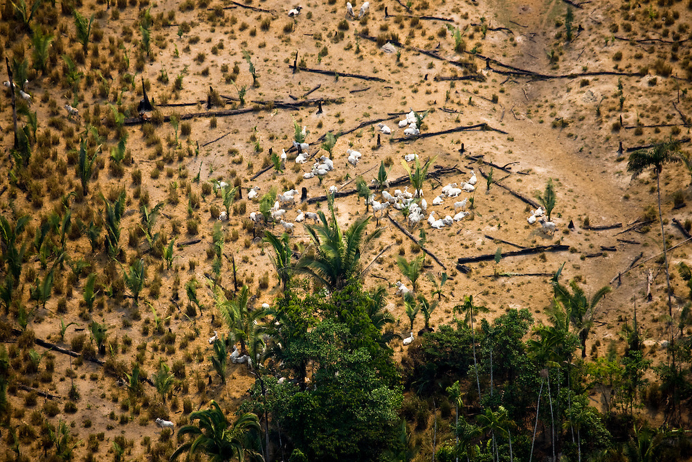 Cattle graze on cleared Amazon rainforest land at the Jose Antonio Vasconcelos fazenda (ranch) in the Altamira municipality of Para State, Brazil, August 13 2008..Daniel Beltra/Greenpeace