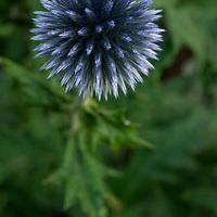 ECHINOPS 'TAPLOW BLUE'