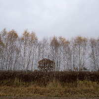 Autumn trees line a field where sugar beets, pumpkins and cabbages are grown just outside of Warsaw, Poland