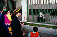 China, Sichuan Province, Chengdu, Giant Panda (Ailuropoda melanoleuca) at zoo with Chinese tourist