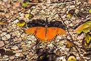 Agraulis vanillae; butterfly; Gulf Fritillary, Autumn, Houston Arboretum, Houston, Texas.