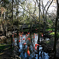 """HOMOSASSA, FL -- January 5, 2009 --  Pink flamingoes - the real ones, not plastic - feed in the water in their wide open enclosure at the Homosassa Springs Wildlife State Park in Homosassa, Fla., on Monday, January 5, 2009.  The 180-acrepark is built into the natural surroundings, giving visitors a glimpse at wildlife in their natural setting - including the """"Fishbowl,"""" which is a natural spring with and underwater viewing area.  (Chip Litherland for The New York Times)"""