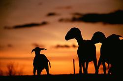 Nova Canudos, BA, Brasil  Dez/1997.Criacao de caprinos no sertao da Bahia. / Caprines flock in Bahia's desert..Foto Marcos Issa/Argosfoto