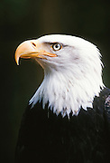 Alaska. Southeast. Sitka. Alaska Raptor Rehabilitation <br /> Center. Bald Eagle Head (Haliaeetus leucocephalus).A bird of prey with hooked beak. Scavengers rather than predators. Males can grow up to 9lbs in weight, 50,000 bald eagles live in Alaska.
