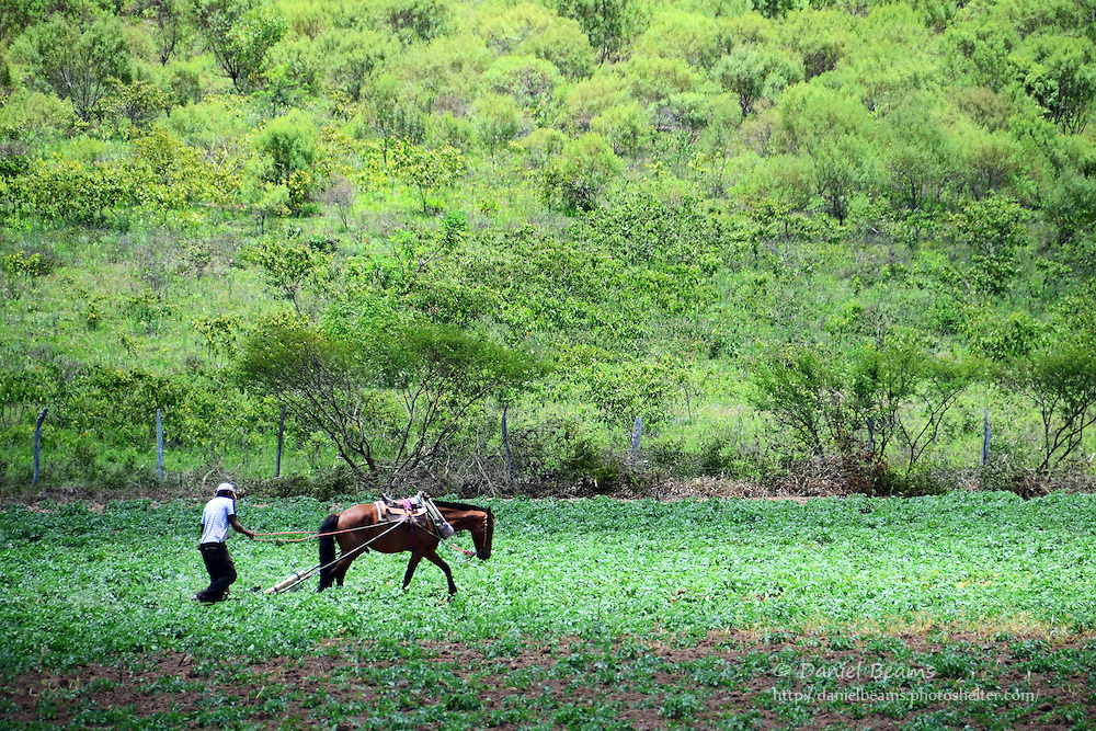 Horse and man plowing a potato field near Samaipata, Bolivia