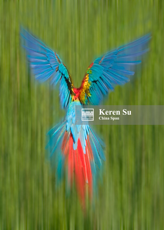 Scarlet Macaw in the forest, Tambopata Amazon Jungle, Peru