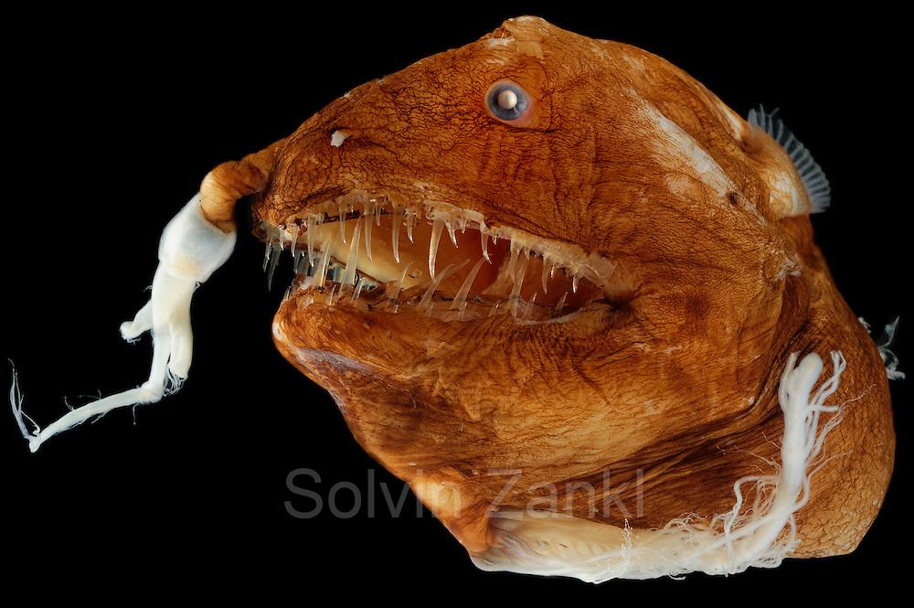 Illuminated Netdevil (LInophyne arboritera), female anglerfish, Picture was taken in cooperation with the Zoological Museum University of Hamburg | Teufelsangler (LInophyne arboritera), weiblich, Das Bild entstand in Zusammenarbeit mit dem Zoologischen Museum Hamburg (ZMH); ZMH 109472 (ISH 2736-1971); 16.04.1971; 23°12'W,14°5'N; Trawl survey Walther Herwig, 494/71, MT 1600; 1900 m; det. Bertelsen