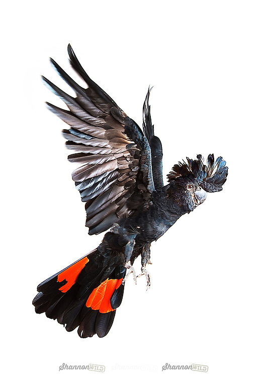 The Red-tailed Black Cockatoo (Calyptorhynchus banksii samueli) is a large black cockatoo native to Australia. <br /> <br /> Adult males have a characteristic pair of bright red panels on the tail that gives the species its name. This particular subspecies exists in four scattered populations: in central coastal Western Australia from the Pilbara south to the northern Wheatbelt in the vicinity of Northam, and inland river courses in Central Australia, southwestern Queensland and the upper Darling River system in Western New South Wales. <br /> <br /> Birds of this subspecies are generally smaller with smaller bills than the nominate banksii.