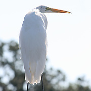 A Great Egret perches on a well used dock pylon on Jekyll Island Georgia.