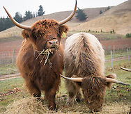 Highland cows, Burn Cottage, Central Otago, New Zealand