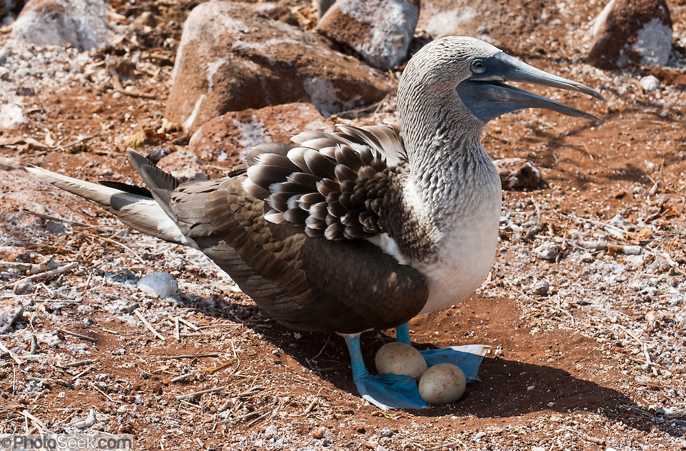"""A Blue-footed Booby (Sula nebouxii) nests with two eggs on North Seymour Island, part of the Galápagos archipelago, a province of Ecuador 972 km offshore west of the continent of South America. The Sulidae family comprises ten species of long-winged seabirds. The name """"booby"""" comes from the Spanish term bobo, which means """"stupid"""" or """"fool/clown,"""" which describes its clumsy nature on land. Like other seabirds, they can be very tame. Blue-footed Boobies breed in tropical and subtropical islands of the Pacific Ocean."""