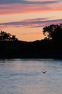 Yellowstone River, east of Fairview Montana, near its confluence with the Missouri, American White Pelican, (Pelecanus erythrorhynchos)