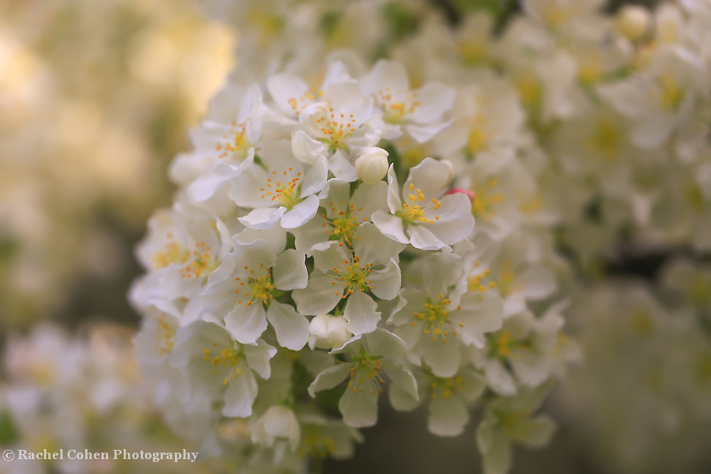 &quot;Ivory Blossoms&quot; <br /> <br /> Gorgeous golden sunlight shines on apple blossoms in spring creating an ivory and gold floral beauty!