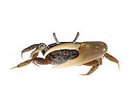 Fiddler Crab, Awendaw, SC