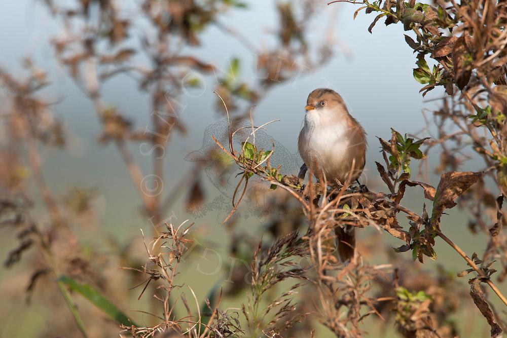 Bearded Tit (Panurus biarmicus) adult female perched, Norfolk, UK.