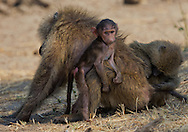 Olive baboons (Papio anubis) playing and grooming, Tarangire National Park; Tanzania; Africa