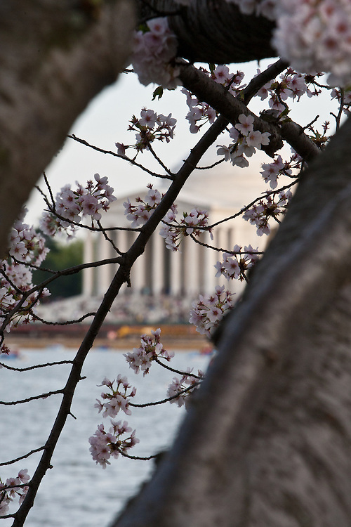 Cherry Blossoms decorate the Jefferson Memorial.