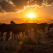 A group of wild mustangs graze at sunset in McCullough Peaks, Wyoming