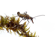Mid-winter Boreus or Snow Scoprionfly (Boreus brumalis) - male<br /> WISCONSIN: Sauk Co.<br /> Baraboo<br /> 17-Jan-2015<br /> J.C. Abbott &amp; K.K. Abbott