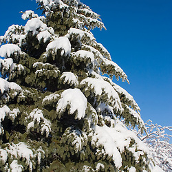 Weighing down the boughs, several inches of snow have fallen overnight and coated this pine tree like a perfect Christmas card.