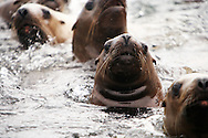 Curious Steller Sea Lions (Eumetopias jubatus) swimming closely together in Frederick Sound near Brothers Islands in Southeast Alaska. Inside Passage. Summer. Afternoon.