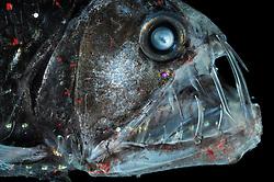 Deep Sea Viperfish Chauliodus sloani   Deep Sea fish   Tiefsee Fisch   Mit den langen Zähnen kann der Vipernfisch (Chauliodus sloani) seine Beute packen und festhalten. Ist diese aber zu groß, so dass er sie weder verschlingen noch wieder ausspucken kann, stirbt er mit der Beute im Maul. (Atlantik)