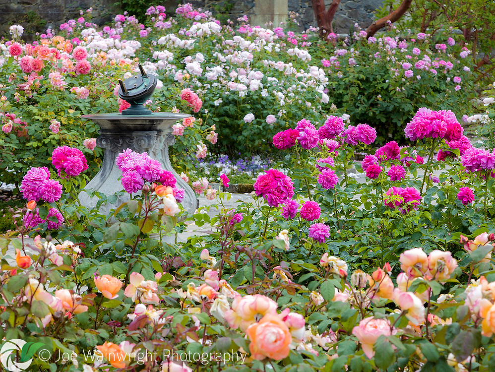 The Upper Rose Terrace in Bodnant Gardens, North Wales, in full bloom.