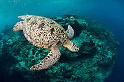 The island of Sipadan is a mecca for divers and is famous for its schools of fish, healthy reefs and large populations of green and hawksbill turtles.