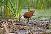 African Jacana.Actophilornis africanus.Polokwane Bird Reserve.Pietersburg, Limpopo Province,.South Africa.11 January 2006