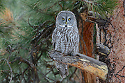 A great gray owl (Strix nebulosa) perched on an old growth ponderosa pine, Montana