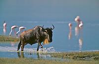 Wildebeest crossing lake in Tanzania