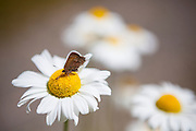 A butterfly with a broken wing feeds on the nectar of a daisy in the Bacon Creek drainage, Mount Baker-Snoqualmie National Forest, Washington.