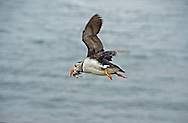 Puffin in flight carrying sandeels