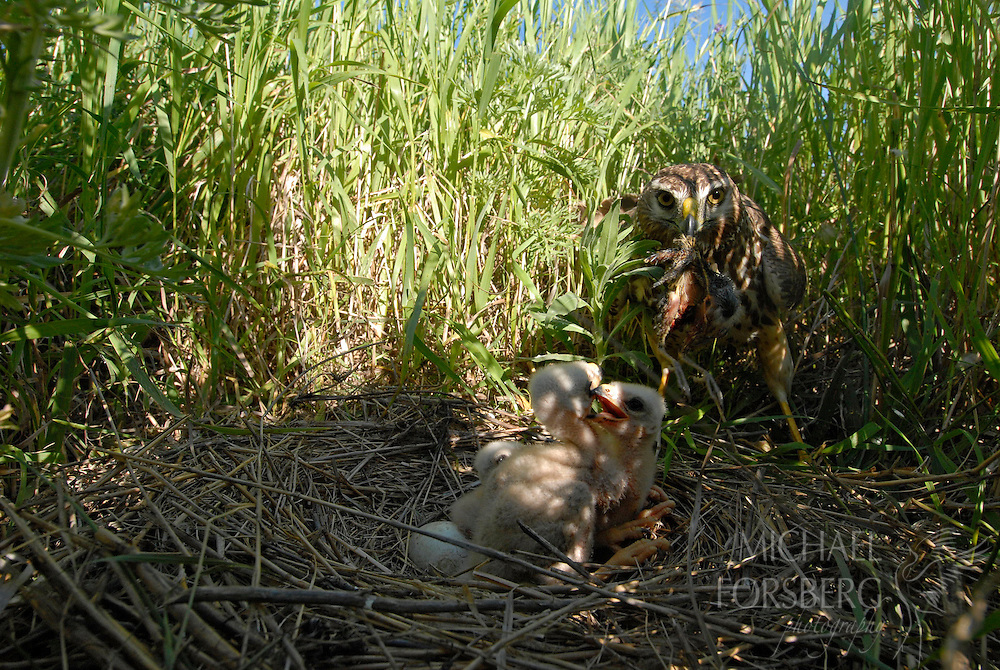 Prairie pothole region - Missouri coteau..Northern harrier adult female with prey at nest with chicks (need ID - young meadowlark or young Bittern or Black-crowned night heron) in CRP field...Stutsman County North Dakota