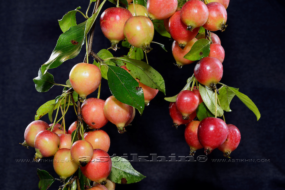 Chinese apple - Malus prunifolia