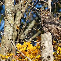 http://Duncan.co/great-horned-owl