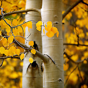 "SHOT 9/23/14 1:27:12 PM - Aspen leaves changing color near Rollinsville, Co. in the Arapaho National Forest. Aspens are trees of the willow family and comprise a section of the poplar genus, Populus sect. Populus. The Quaking Aspen of North America is known for its leaves turning spectacular tints of red and yellow in the autumn of the year (and usually in the early autumn at the altitudes where it lives). This causes forests of aspen trees to be noted tourist attractions for viewing them in the fall. These aspens are found as far south as the San Bernardino Mountains of Southern California, though they are most famous for growing in Colorado. Autumn leaf color is a phenomenon that affects the normally green leaves of many deciduous trees and shrubs by which they take on, during a few weeks in the autumn months, one or many colors that range from red to yellow. The phenomenon is commonly called fall colors and autumn colors, while the expression fall foliage usually connotes the viewing of a tree or forest whose leaves have undergone the change. In some areas in the United States ""leaf peeping"" tourism between the beginning of color changes and the onset of leaf fall, or scheduled in hope of coinciding with that period, is a major contribution to economic activity. (Photo by Marc Piscotty / © 2014)"