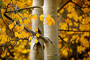 """SHOT 9/23/14 1:27:12 PM - Aspen leaves changing color near Rollinsville, Co. in the Arapaho National Forest. Aspens are trees of the willow family and comprise a section of the poplar genus, Populus sect. Populus. The Quaking Aspen of North America is known for its leaves turning spectacular tints of red and yellow in the autumn of the year (and usually in the early autumn at the altitudes where it lives). This causes forests of aspen trees to be noted tourist attractions for viewing them in the fall. These aspens are found as far south as the San Bernardino Mountains of Southern California, though they are most famous for growing in Colorado. Autumn leaf color is a phenomenon that affects the normally green leaves of many deciduous trees and shrubs by which they take on, during a few weeks in the autumn months, one or many colors that range from red to yellow. The phenomenon is commonly called fall colors and autumn colors, while the expression fall foliage usually connotes the viewing of a tree or forest whose leaves have undergone the change. In some areas in the United States """"leaf peeping"""" tourism between the beginning of color changes and the onset of leaf fall, or scheduled in hope of coinciding with that period, is a major contribution to economic activity. (Photo by Marc Piscotty / © 2014)"""