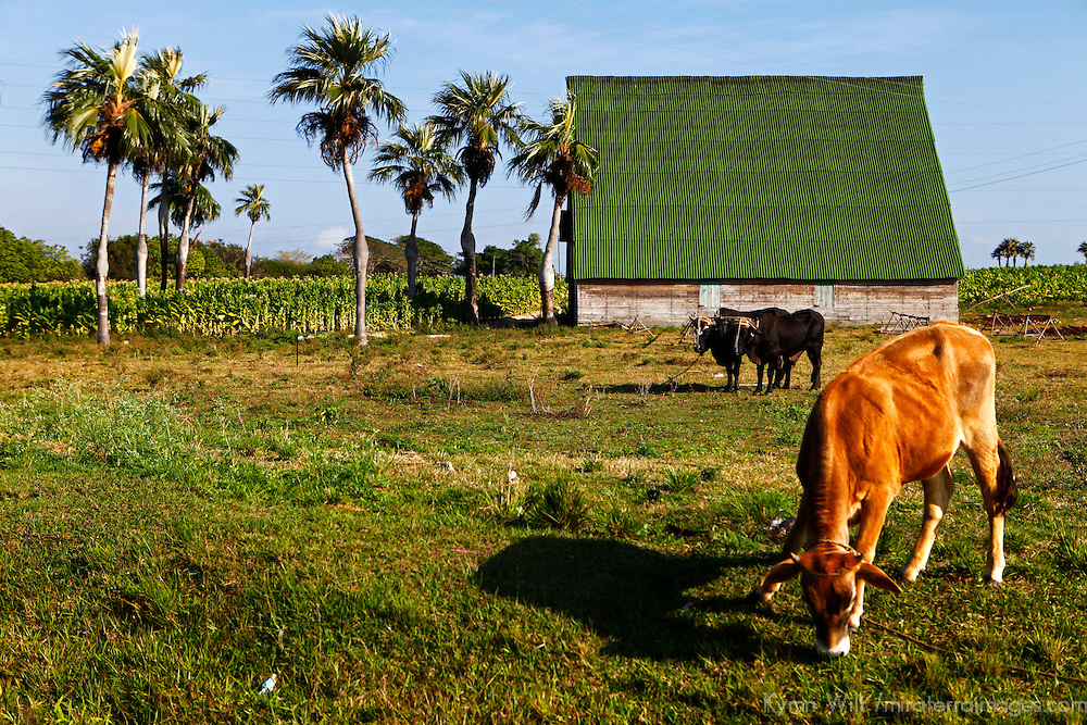 Central America, Cuba, Pinar del Rio. Cow and Oxen on Cuban farm in Pinar del Rio province.