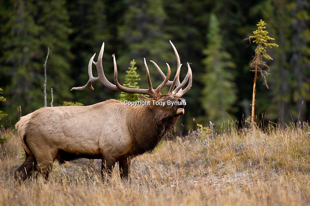 huge bull elk bugling near rubbed fir tree in grass fir habitat