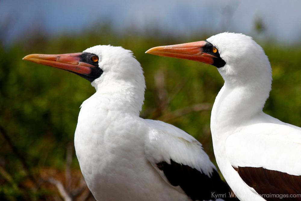 South America, Ecuador, Galapagos Islands. Nazca Booby pair.