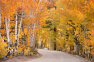 Dirt Road Winding Through Aspen Forest near North Lake, Eastern Sierra, California