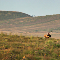 September 17, 2009. Hindman, Kentucky. A bull elk forages on the grasses of Combs Branch reclaimed surface coal mine. (Credit image: © David Stephenson/ZUMA Press)