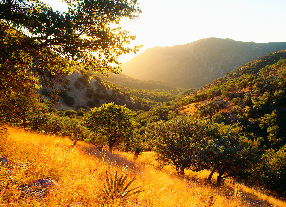 0104-1000C ~ Copyright:  George H. H. Huey ~ View down Montezuma Canyon at sunrise with emory oaks [Quercus emoryi]. Huachuca Mountains.  The Coronado expedition passed here in 1540.  Coronado National Memorial, Arizona.