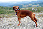 BAGN, NORWAY 20070826: Nature. Irish setter dog with scenic view in the background. PHOTO BY TOM HANSEN.