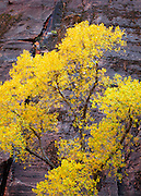 Cottonwood set against a canyon wall. Zion National Park, Utah.