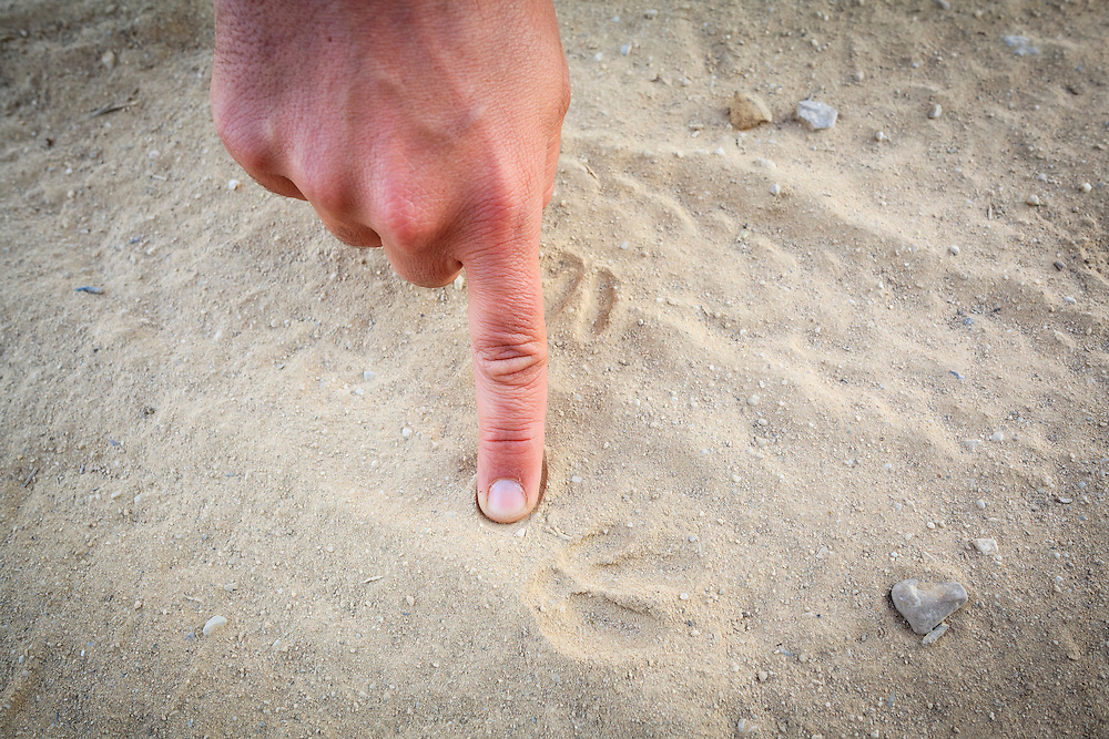 Little Bustard (Tetrax tetrax) footprints in a track. Lleida province. Catalonia. Spain.